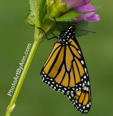 Save the Monarch, Don't Mow that Milkweed!