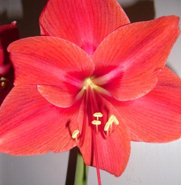 Amaryllis Blooms, What Next?
