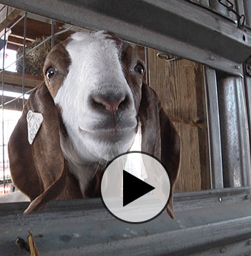 """It's Always a """"Goat"""" Time at the Fair"""