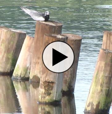 Rare Sighting at Nessmuk Lake